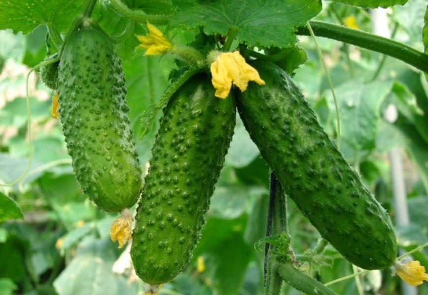 Огурцы в открытом грунте — выращивание и уход