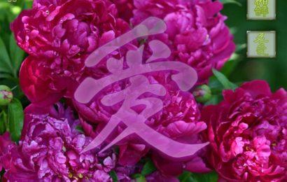 Пионы в фен-шуй – символ любви и страсти