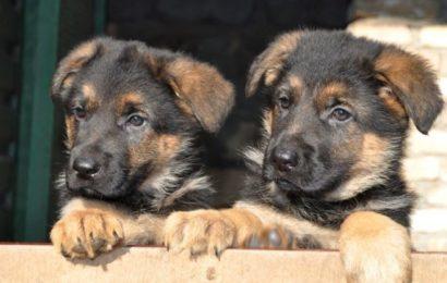 Чем кормить щенков немецкой овчарки