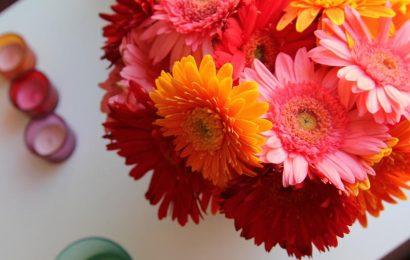 Герберы: посадка и уход в саду и домашних условиях (+фото цветов)