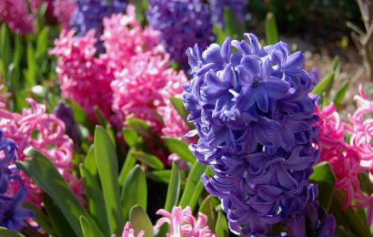 Гиацинт (фото): всё о посадке и уходе после цветения