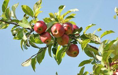 Советы по выращиванию плодовых деревьев