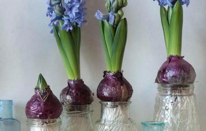 Гиацинты, цветущие на подоконнике